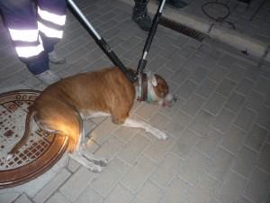 Captura APP que estaba siendo utilizado para peleas de perros