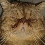 gato braquicéfalo