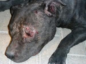 heridas producidas por otro perro durante una pelea