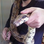 Boa constrictor1